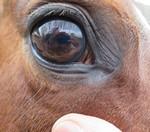 Donkere kleurlens in een paardenoog.