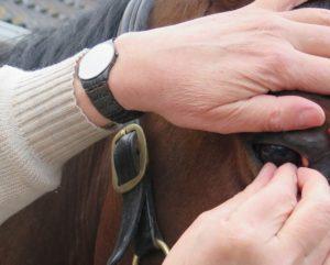 Uitnemen van een lens bij een paard.