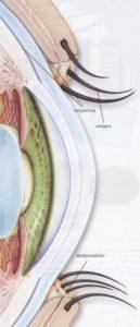 Tekening van de cornea, met oogleden en meibomkliertjes.